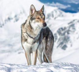 Гибрид домашней собаки и дикой волчицы - Волкособ