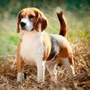 Бигль - небольшой охотничий пес