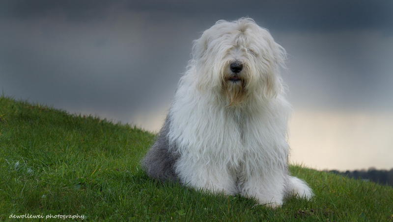Бобтейл фото собаки
