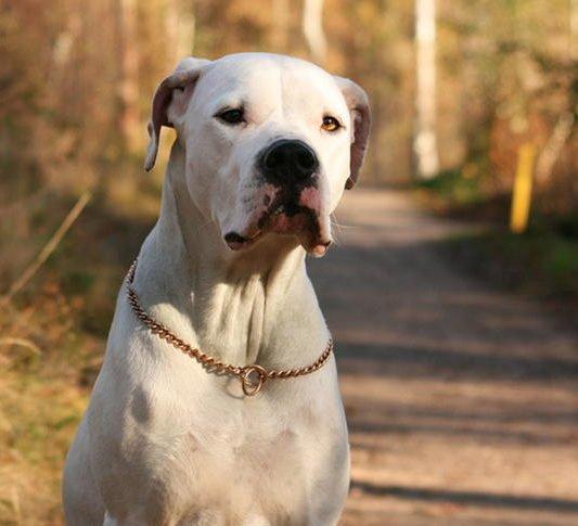 Аргетинский дог – фото собаки, характеристика породы, цена, отзывы