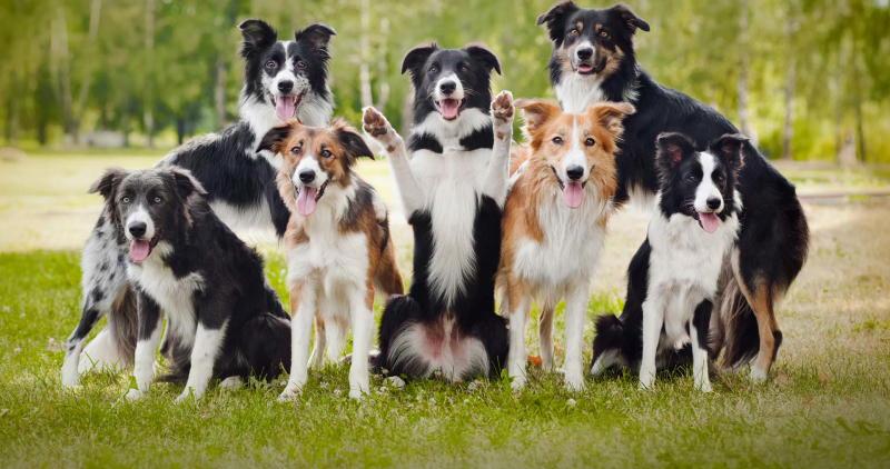 Фото собак Бордер-Колли