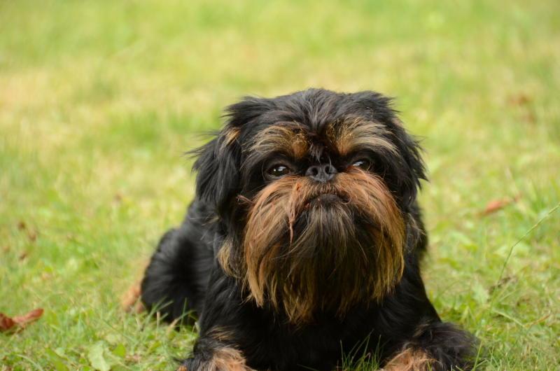 Бельгийский гриффон фото собаки