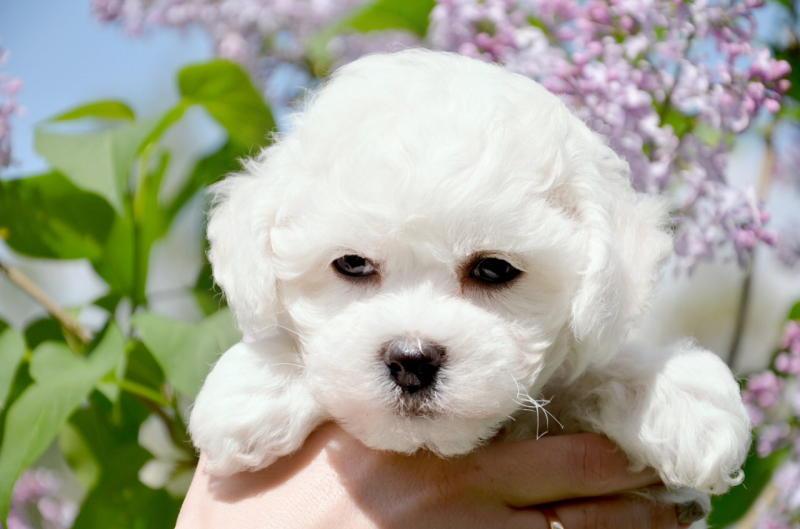 Фото щенка французской болонки