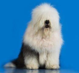 Плюшевый пес - Бобтейл (староанглийская овчарка)