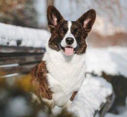 Порода пастушьих собак - Вельш Корги Кардиган
