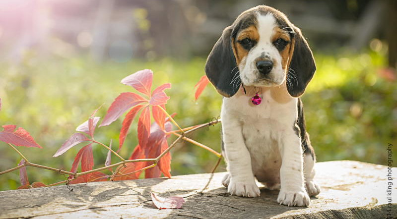 Фото щенка Бигль