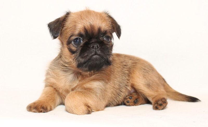 Брюссельский гриффон щенок фото