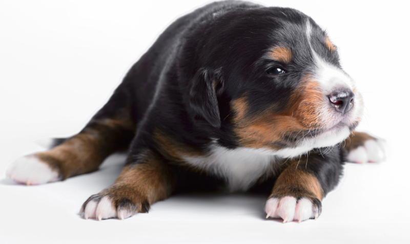 Аппенцеллер зенненхунд щенок