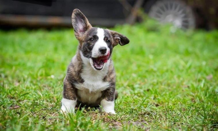 фото щенка вязка собак Вельш Корги Кардигана