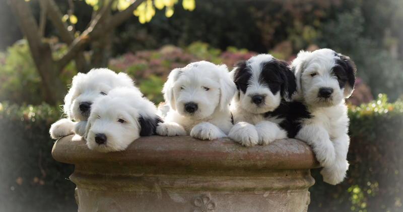 щенки собаки Бобтейл фото