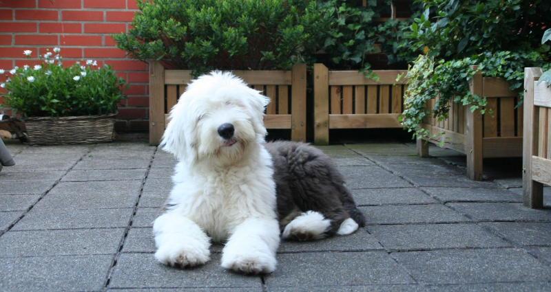 Щенок собаки Бобтейл фото