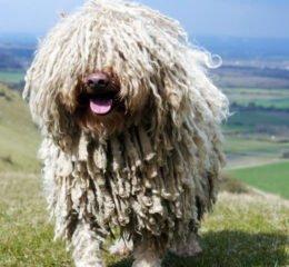 Самая необычная собака - Венгерская овчарка Пули (Комондор)
