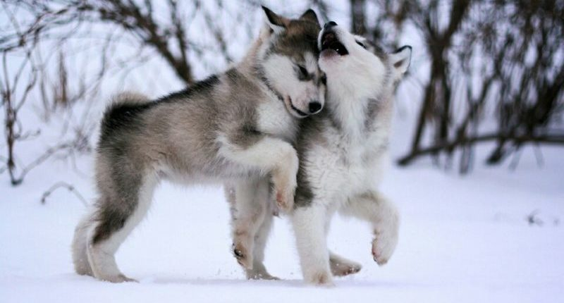 фото щенков собаки Аляскинский маламут
