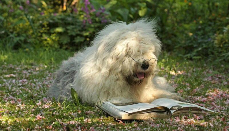 собака Бобтейл фото
