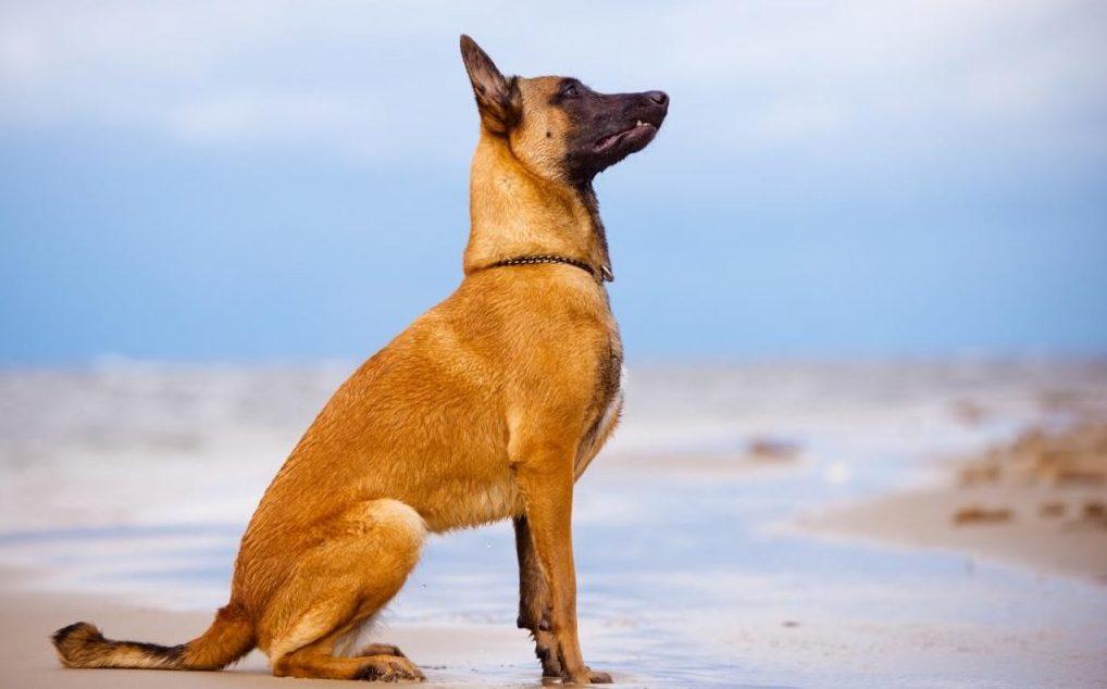 фото собаки Малинуа