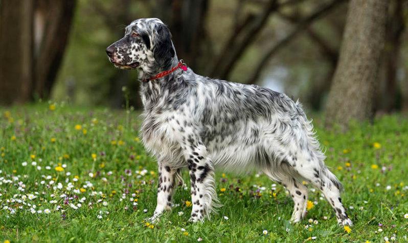 Собака породы Английский сеттер