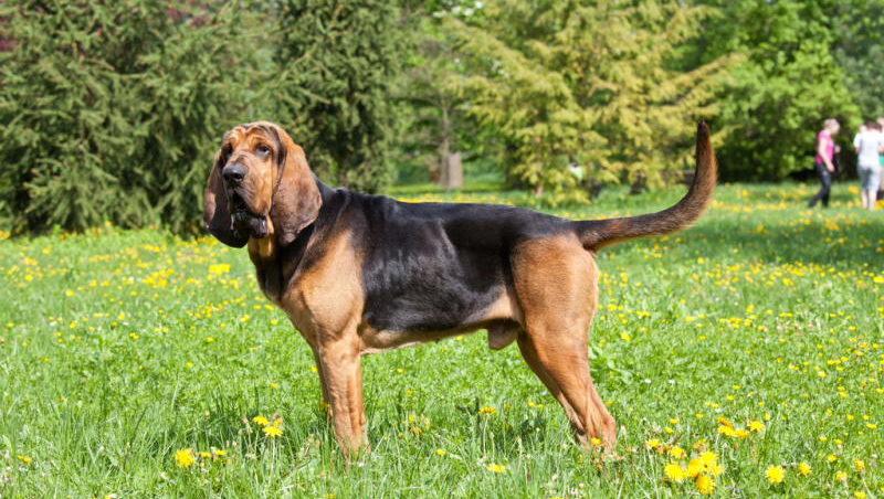 фото собаки Бладхаунд