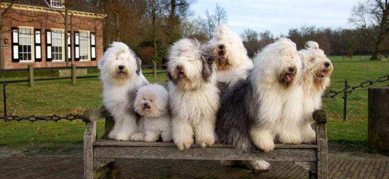 Бобтейл (староанглийская овчарка) фото собаки