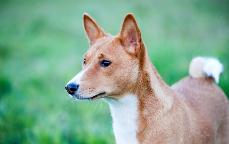 Басенджи фото собаки