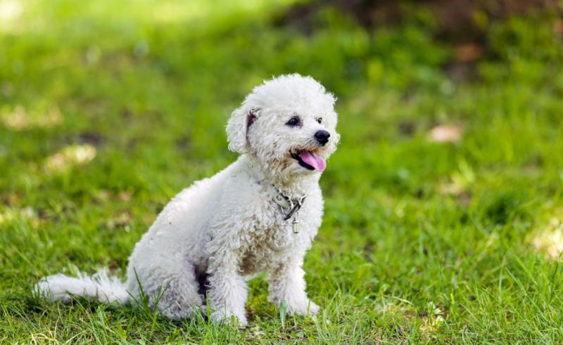 Фото собаки бишон фризе