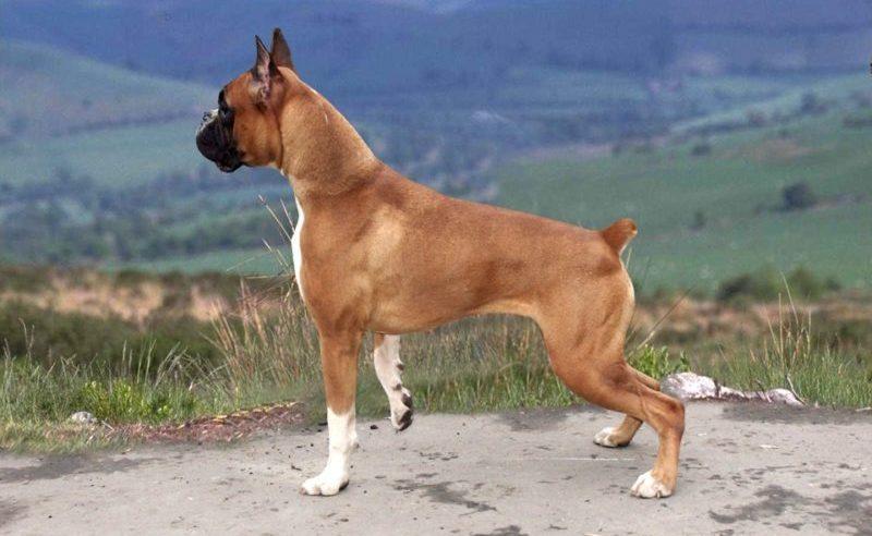 картинка собака боксер