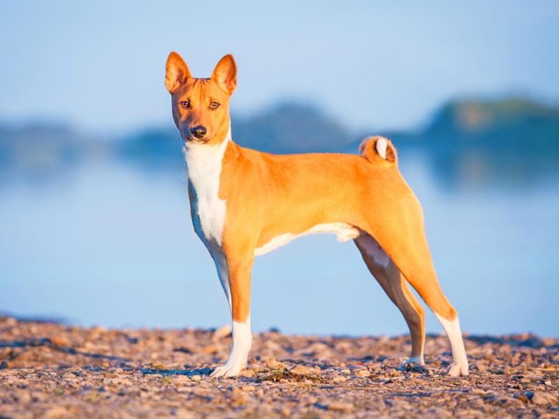 фото собаки Басенджи