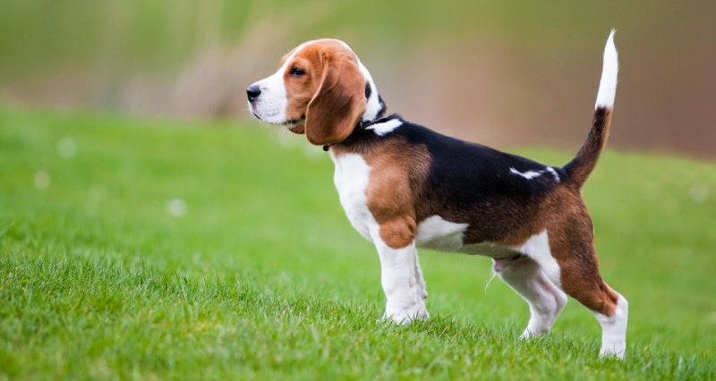 Собака Бигль, фото