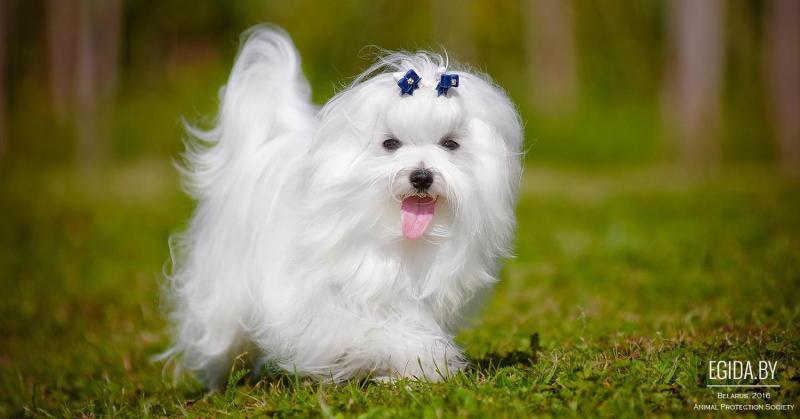 фото собаки мальтезе