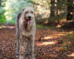 Охотничья собака родом из Ирландии - Ирландский волкодав