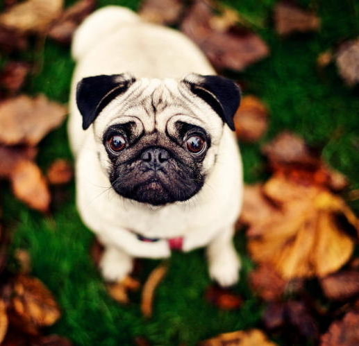 Собачка лентяй - милый Мопс