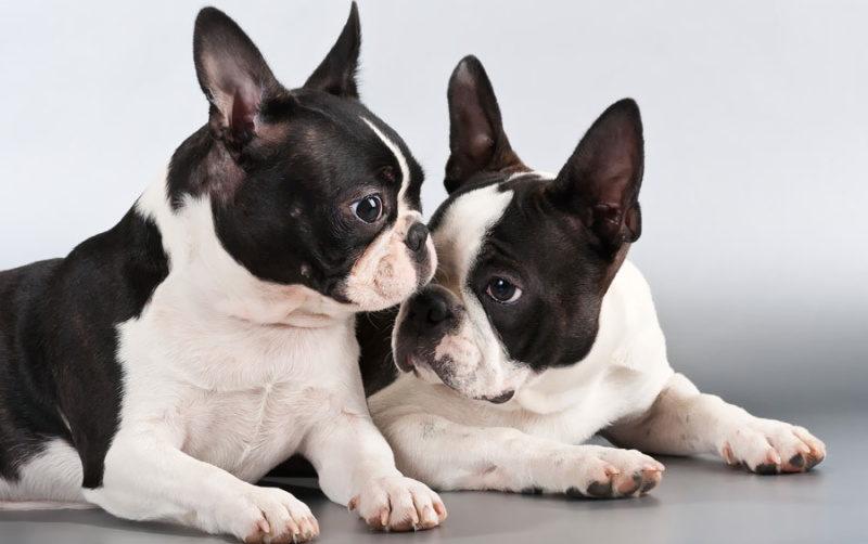 собаки породы бостон терьер