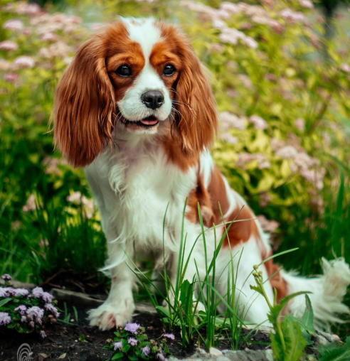 Милая домашняя собачка - Кавалер кинг чарльз спаниель