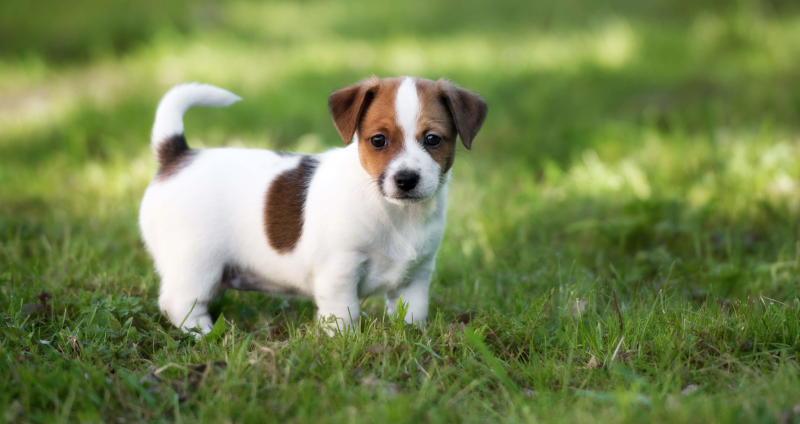 щенок терьера