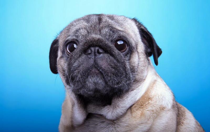 собака мопс фото