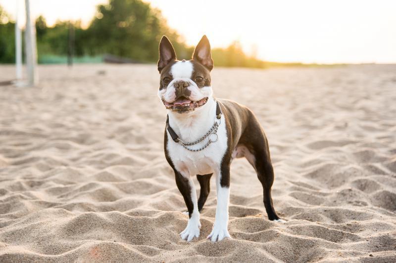 фото собаки бостон терьер