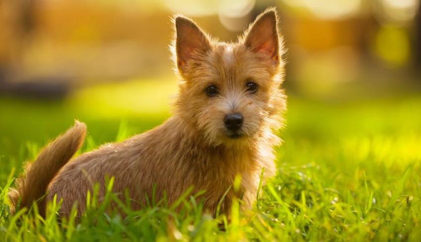 Австралийский терьер фото щенка