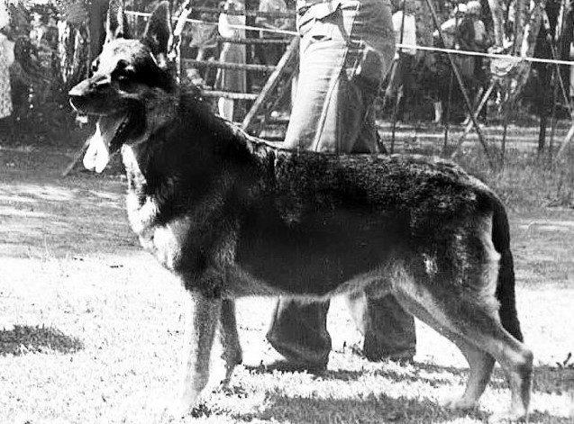 Идеальный друг, охранник и защитник - Восточно-европейская овчарка