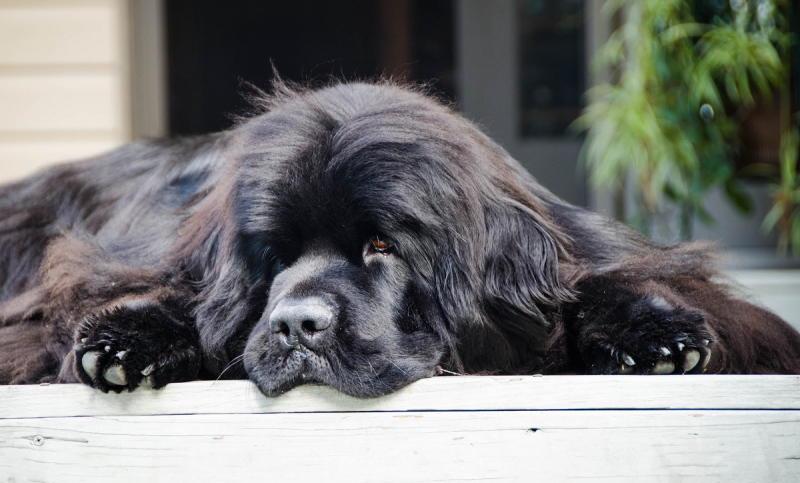 фото собаки Ньюфаундленд