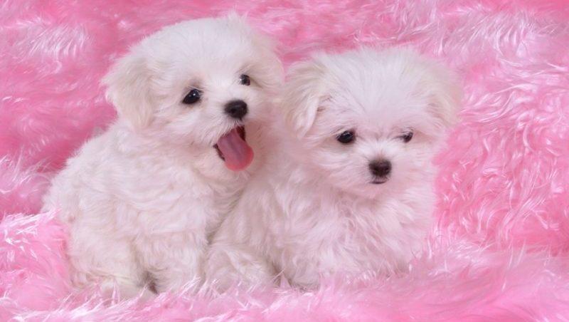 фото щеноков мальтийской болонки