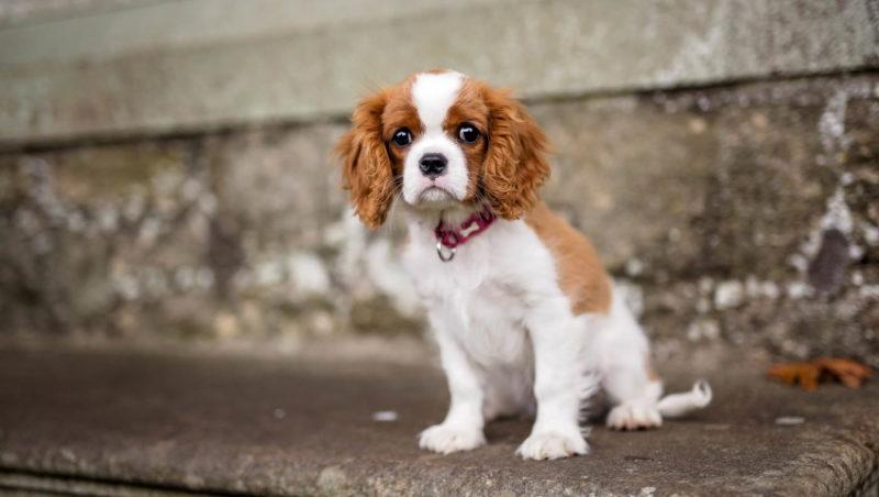 на фото собака Кавалер кинг чарльз спаниель