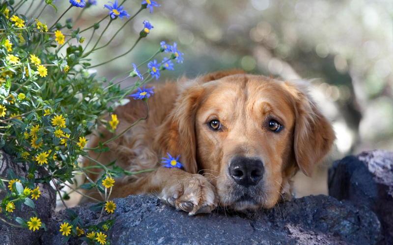 собака породы ретривер