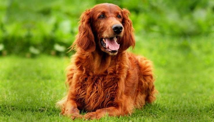 на фото собака Ирландский сеттер