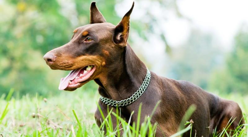 собака доберман