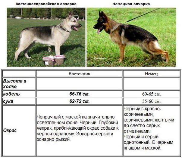 Восточно-европейская овчарка и немецкая овчарка отличия
