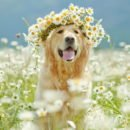 фото собаки золотистый ретривер