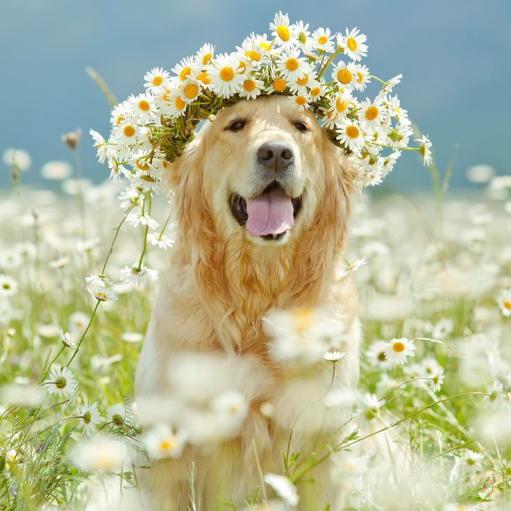 Семейная собака - Золотистый (Голден) ретривер