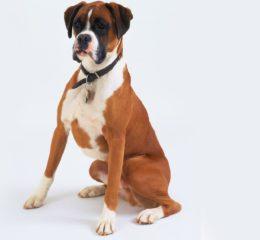 Собака породы Боксер (Немецкий): охранник, защитник, помощник