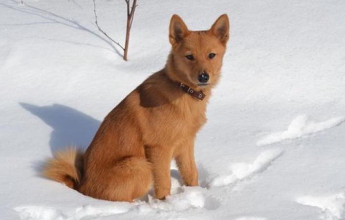 фото щенка Карело-финской лайка