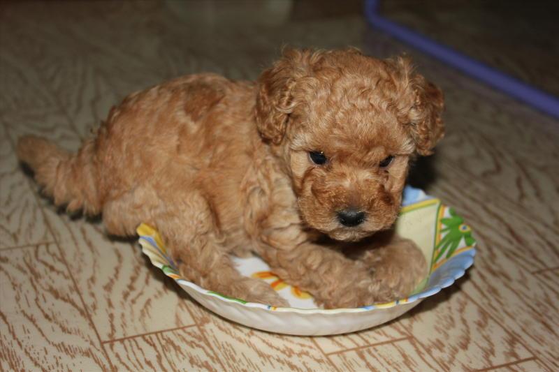 фото щенка карликового пуделя