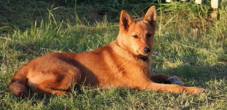 Собака Карелка фото